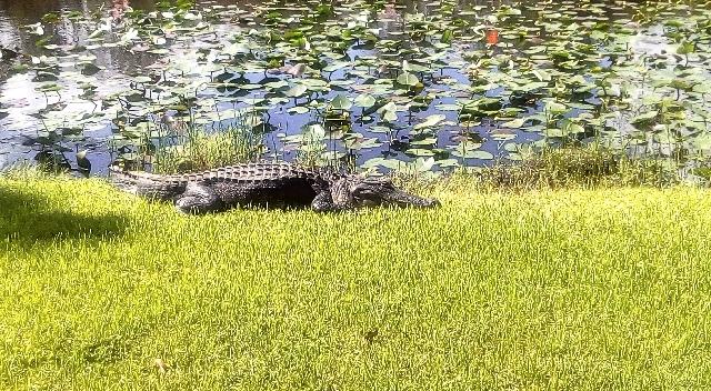 everglades-nationalpark-aligator