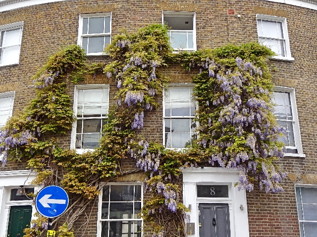 wisteria-notting-hill