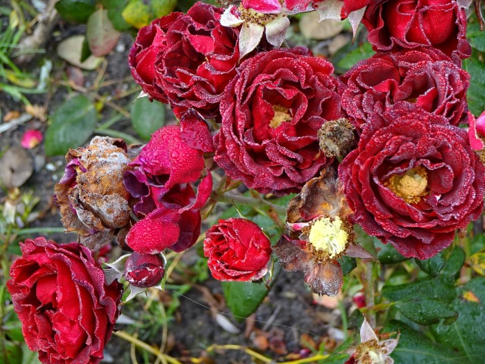 rosen-morgentau