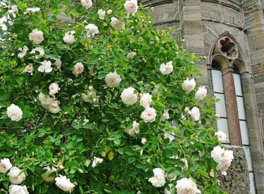 weiße-rosen