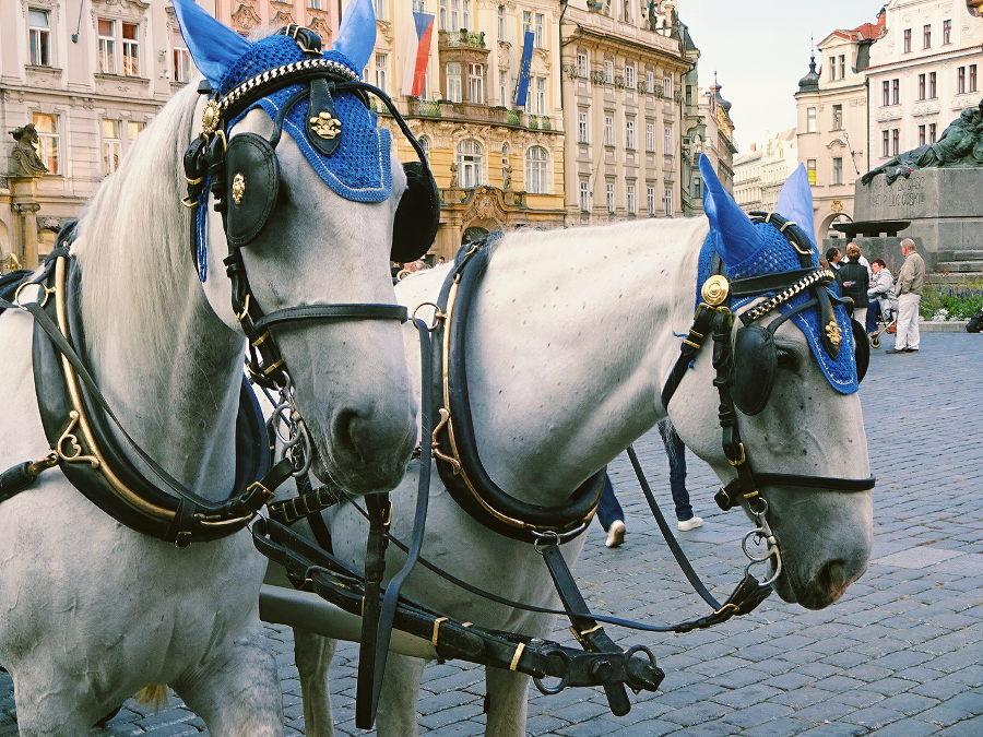 zwei-weiße-pferde
