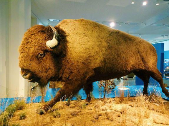 ausgestopftes-bison-im-ueberseemuseum