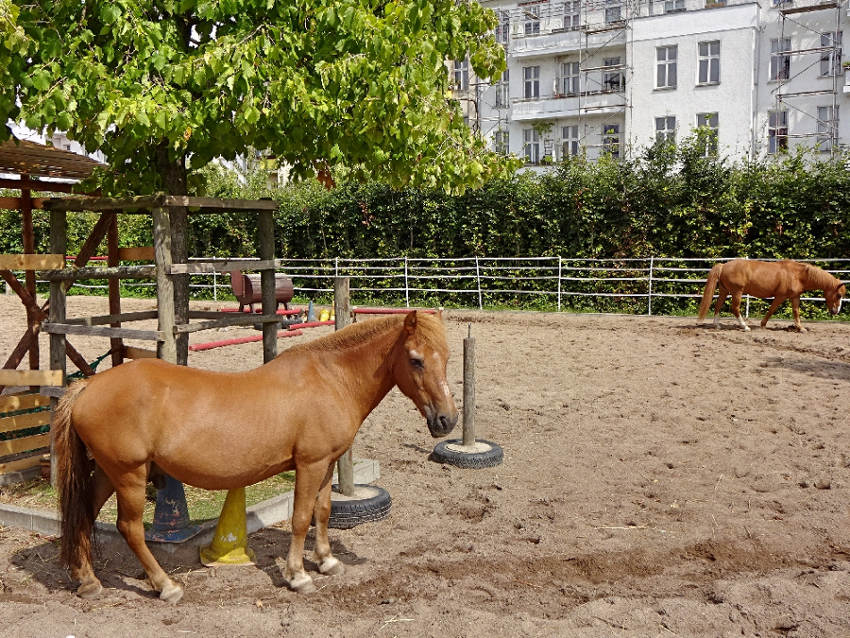 pferde-auf-koppel