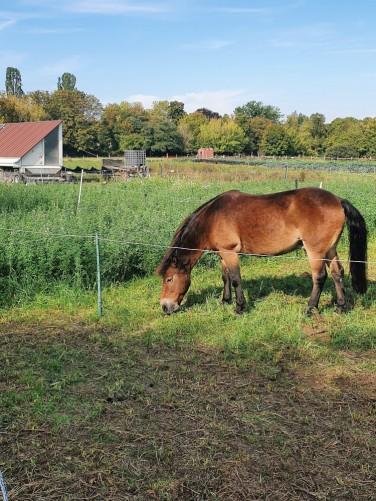 grasendes-pony-auf-der-weide